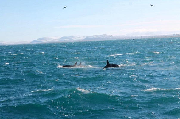 iceland-whale-watching-orcas