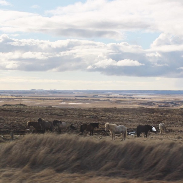 icelandic-horses-outside-nature